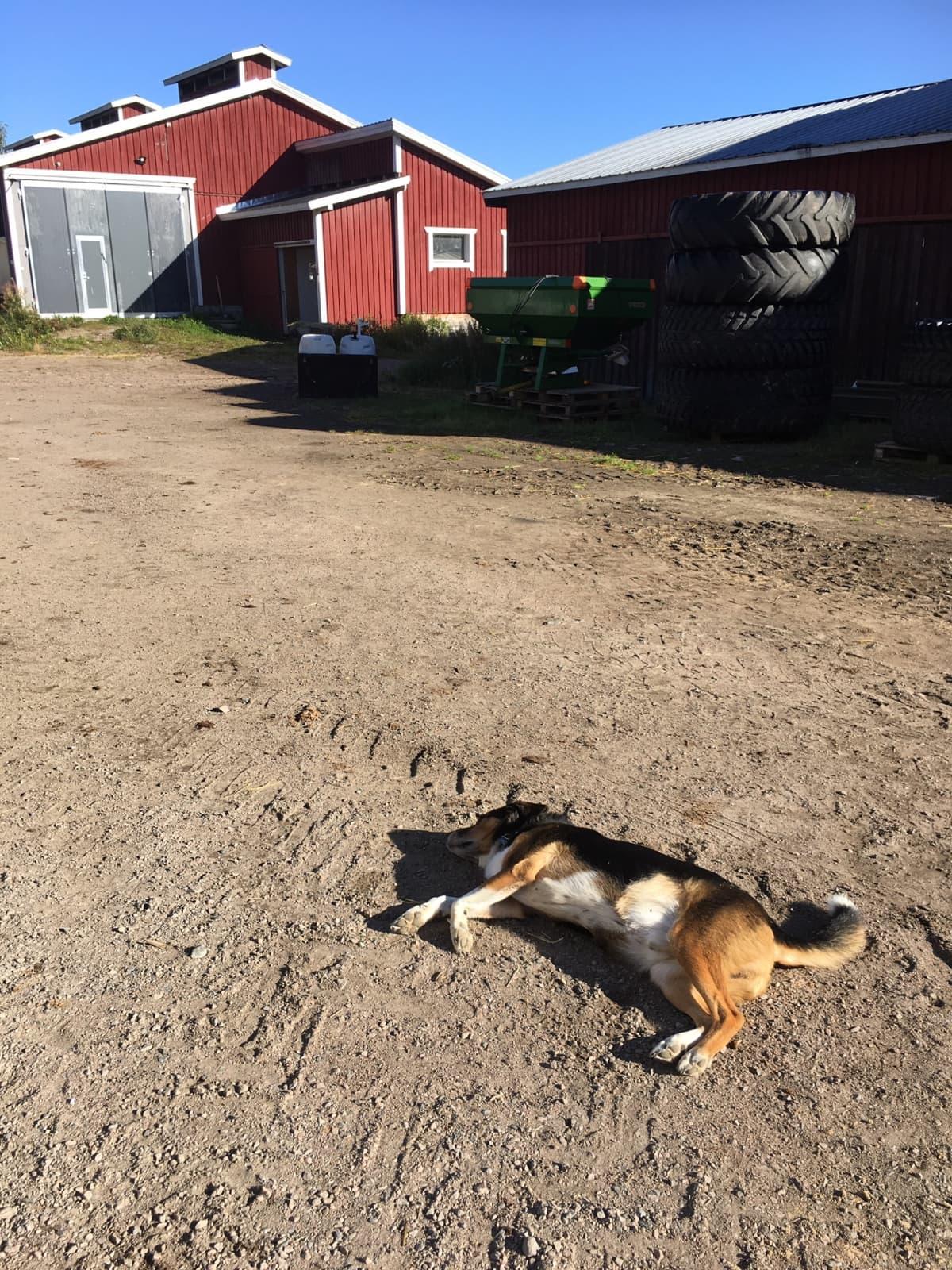 Sekarotuinen koira makaa hiekalla maatalon pihapiirissä.