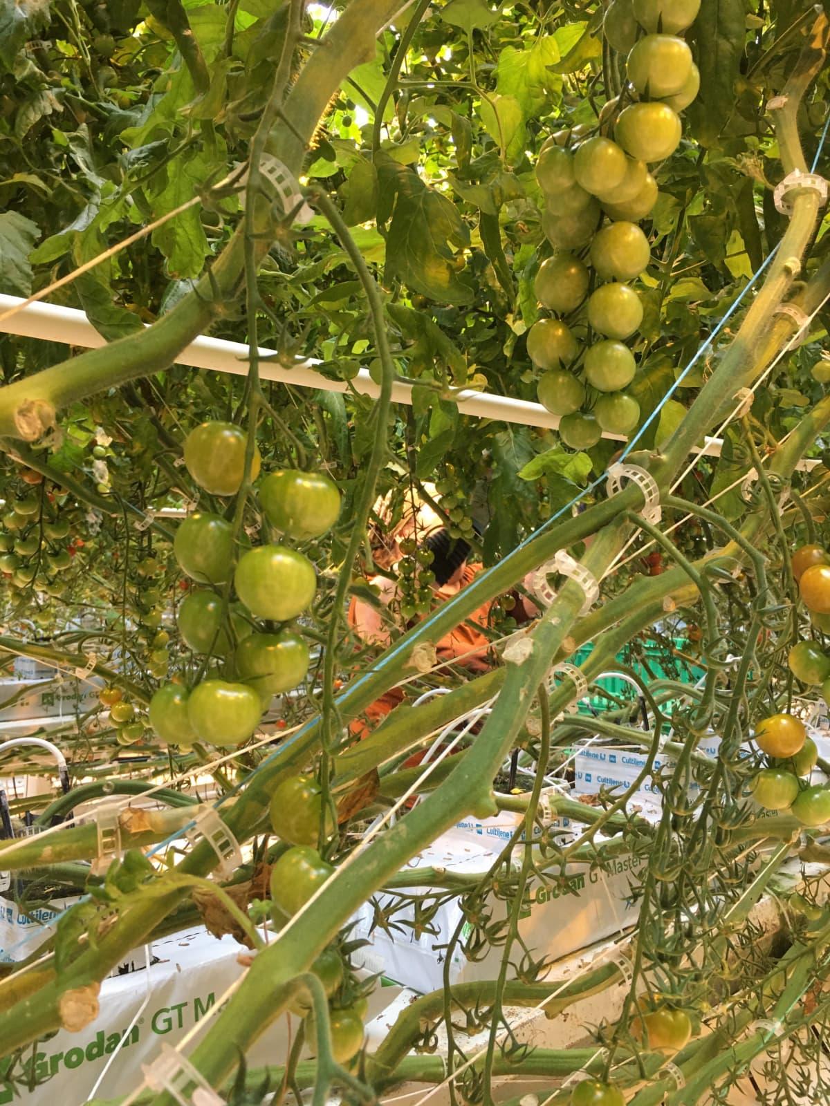 Tomaatteja kasvihuoneessa