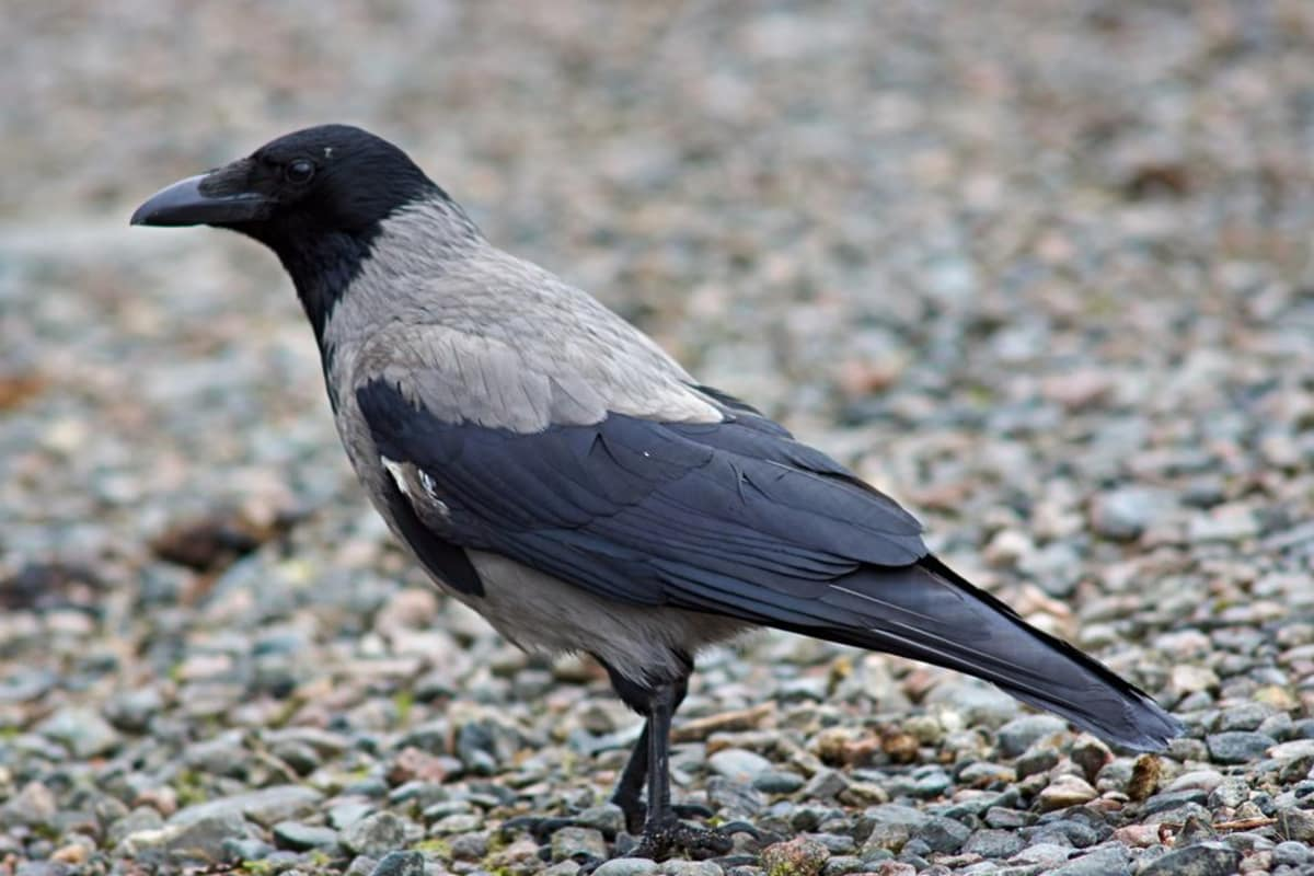 A hooded crow on the ground.