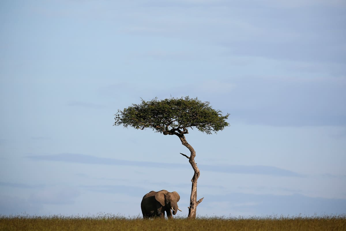 epa05302155 A photograph made available on 12 May 2016 shows a lone elephant standing next to a tree in the Maasai Mara National Reserve in southwestern Kenya, 24 December 2015. At a major conservation conference held in Botswana in 2015, experts have said some 80,000 elephants have been killed by poachers in Africa since 2006, warning that African elephants could be extinct in a next few decades. Another study by Proceedings of the National Academy of Sciences puts the number even higher- more than 10,000 elephants have been killed in Africa from 2010 thorugh 2012.  EPA/DAI KUROKAWA