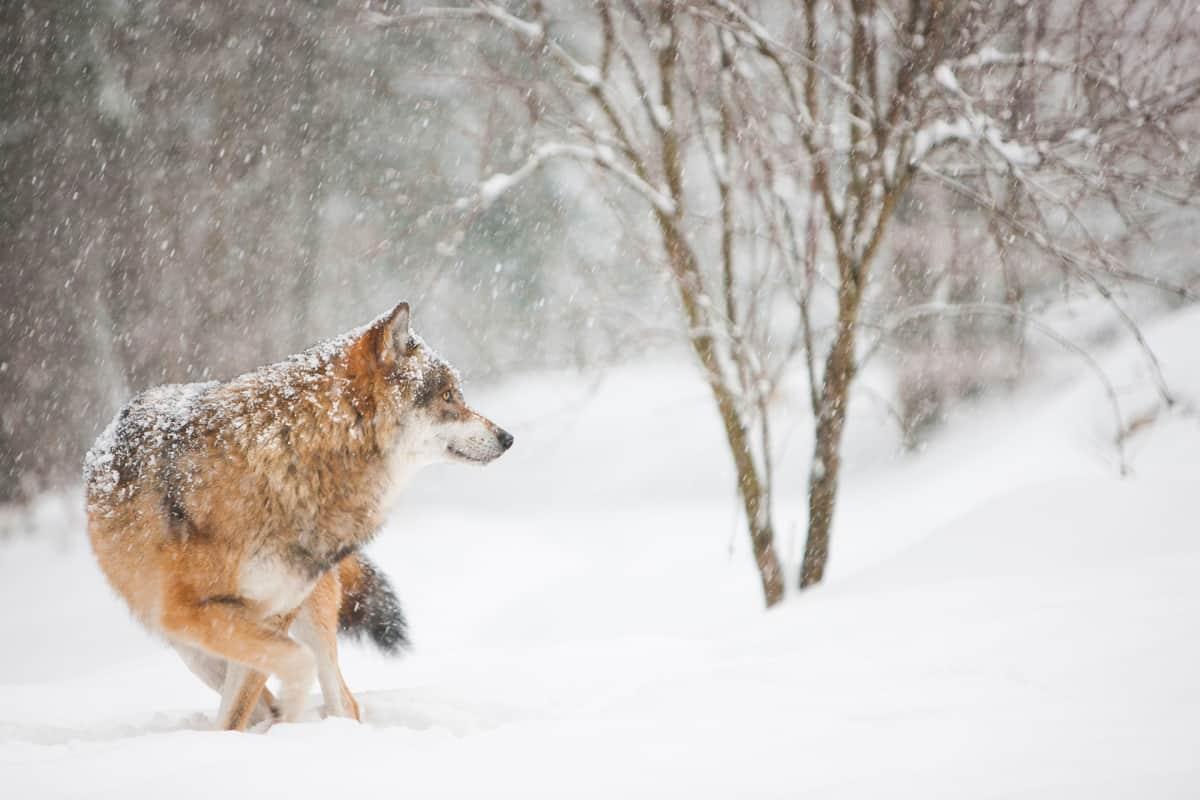Susi lumisessa maisemassa.