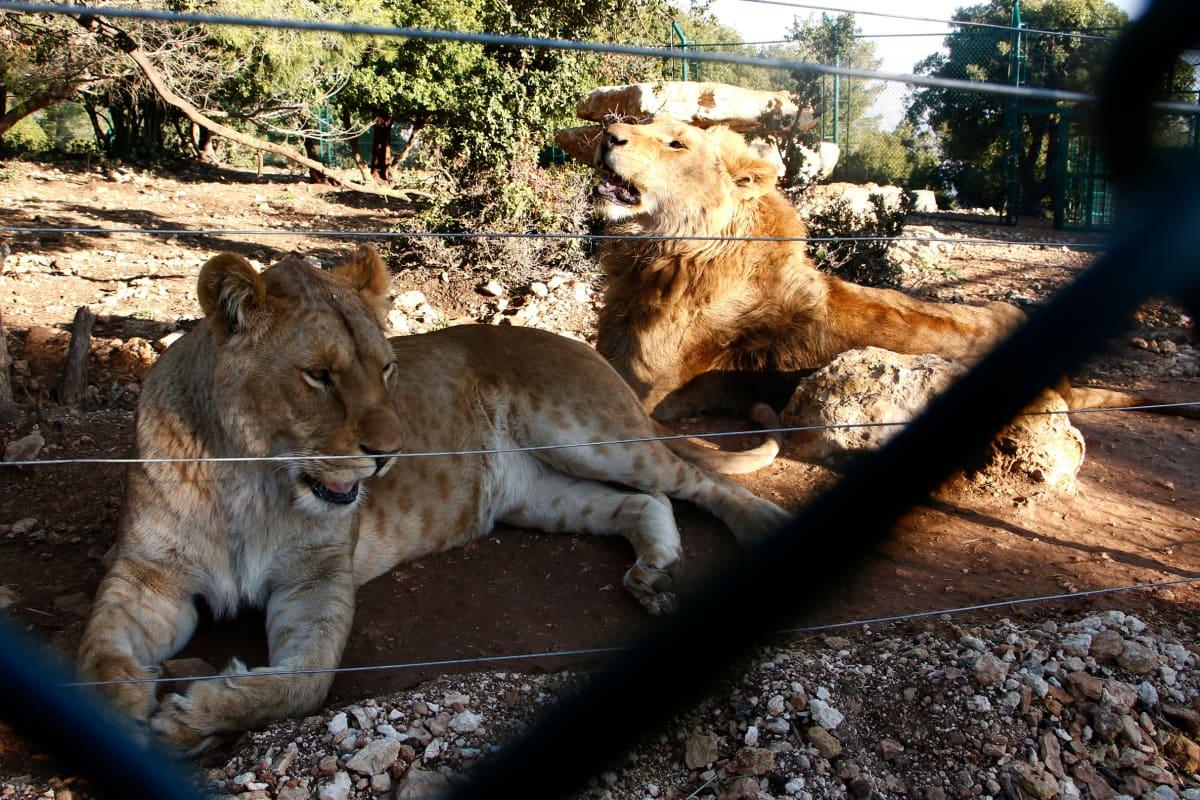 Leijonat auringossa