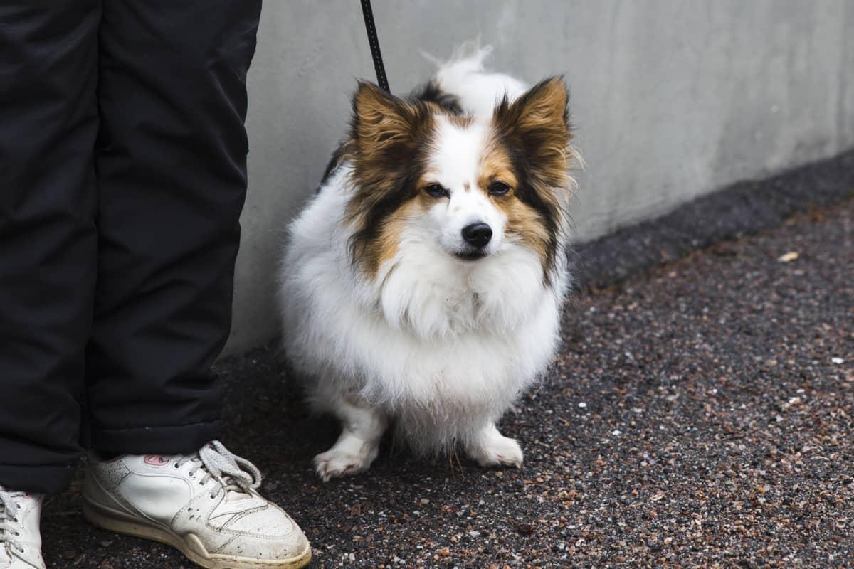 Koira talutushihnassa