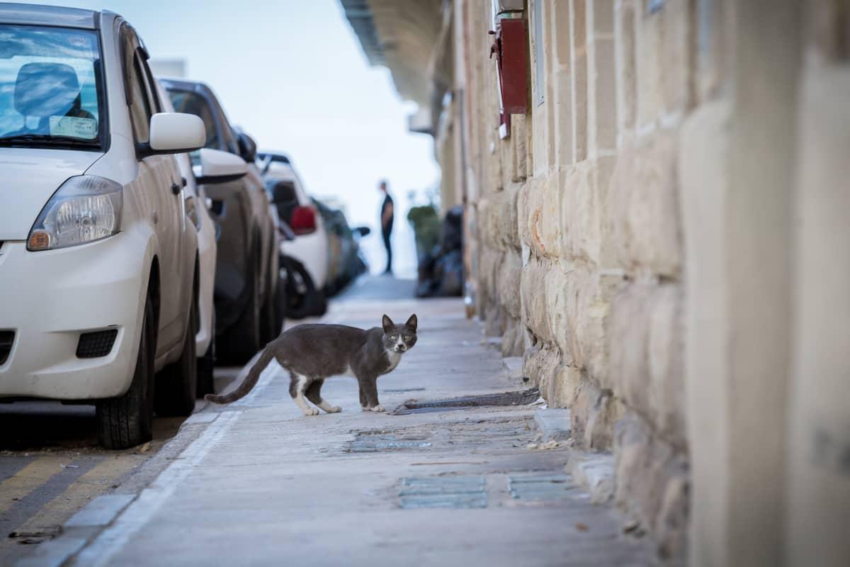 kissa kävelytiellä