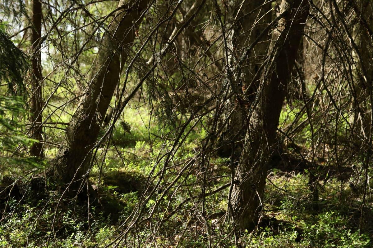 Metsäaukon vieressä tuuli on kallistanut kuusia.