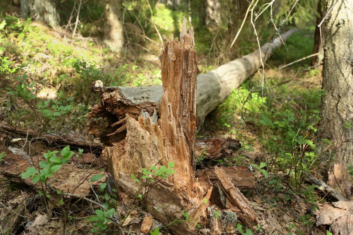 Puu on katkennut juuresta vanhassa metsässä.