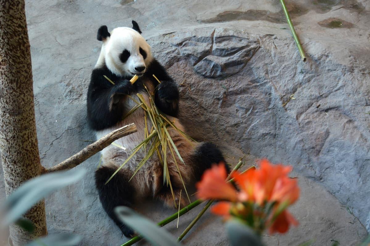 Pandat viihtyvät hellepäivinä viilennetyissä sisätiloissa.