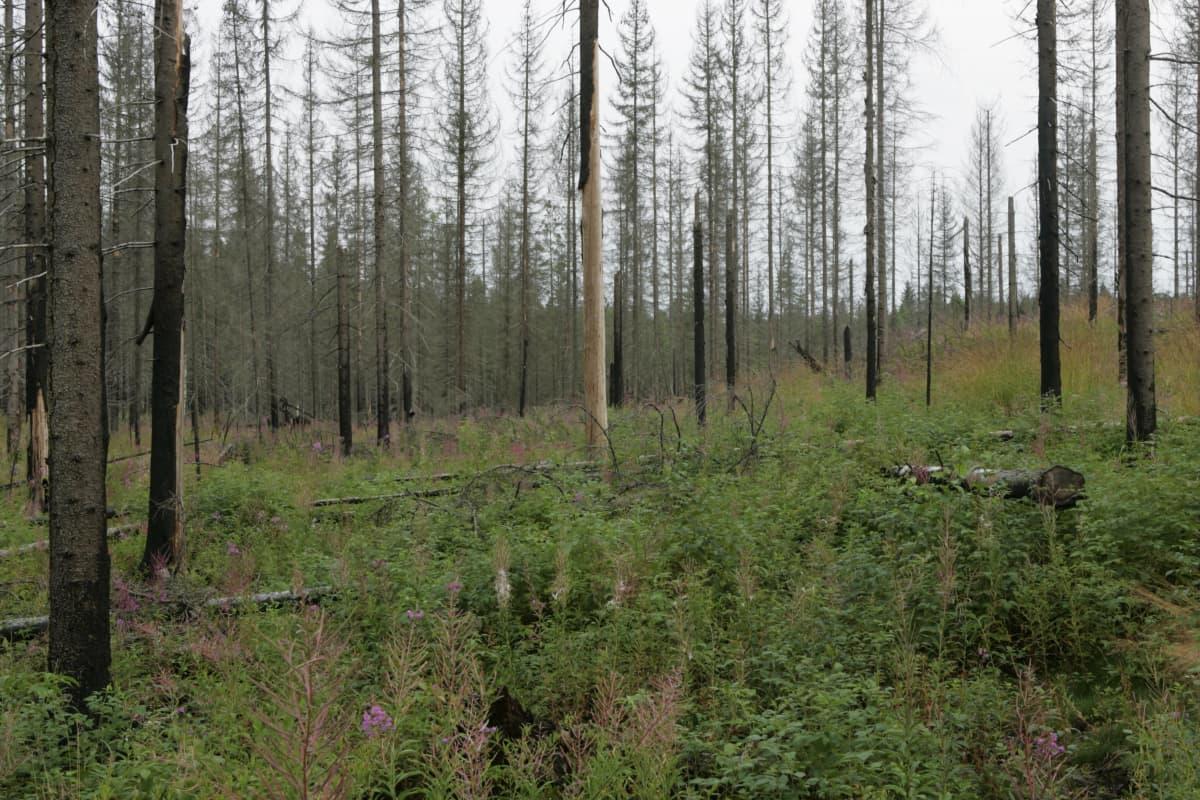 Padasjoella riehui metsäpalo kesällä 2002. Kolme vuotta myöhemmin elokuussa 2005 metsä näytti tältä. Alueella kasvoi esimerkiksi vadelmaa ja horsmaa.