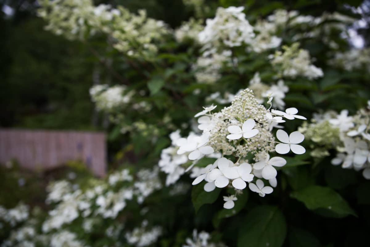 mustilanhortensia , Eija´s Garden, Ahvenkoski, Loviisa