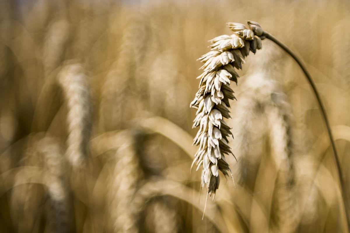 Kuivuudesta kärsivä vehnäntähkä.
