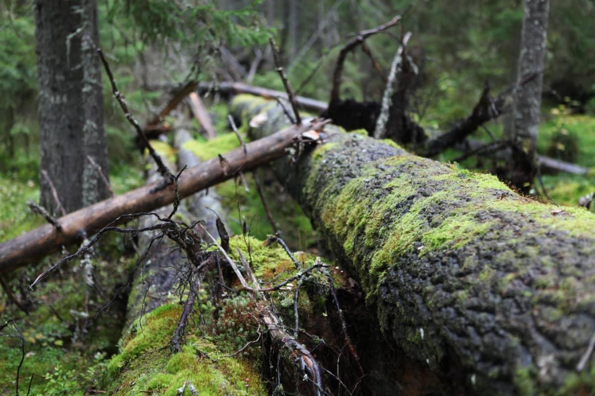 Vanha puu kaatuneena metsässä.