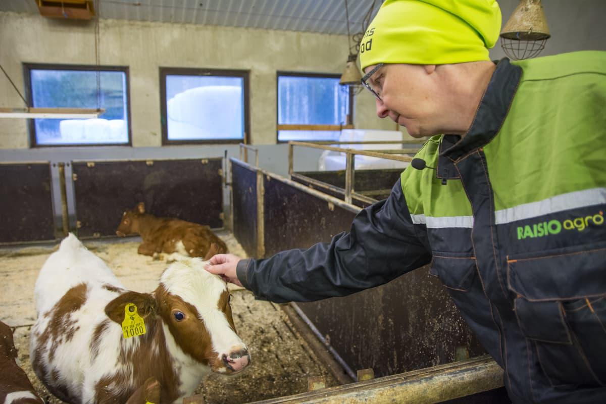Eija Komulainen vasikka maatila