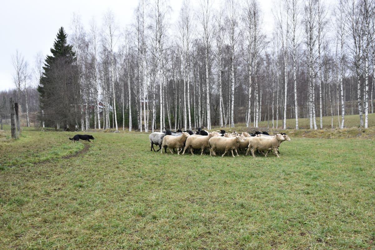 Lammaspaimenkoira työssään