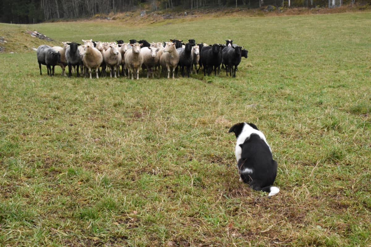 Bordercollie Boss eli Puspus tarkkailee lampaita.