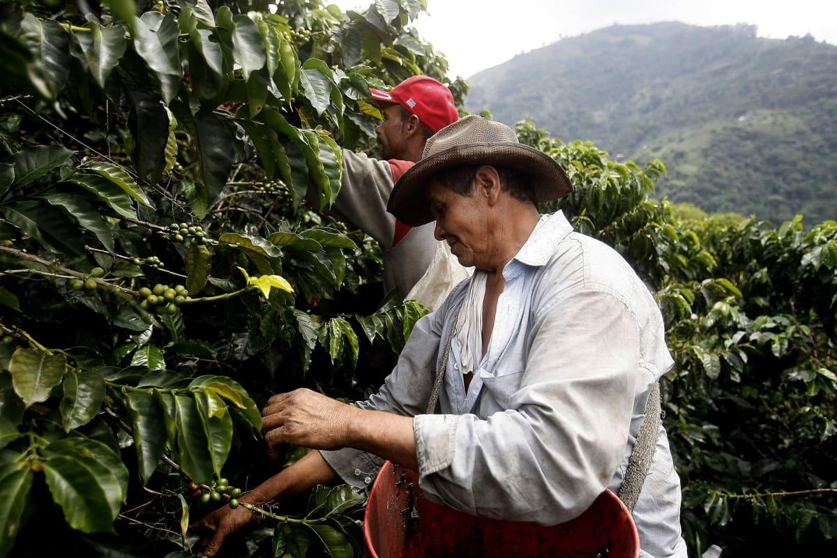 Kahvinpoimijoita pensaiden välissä.