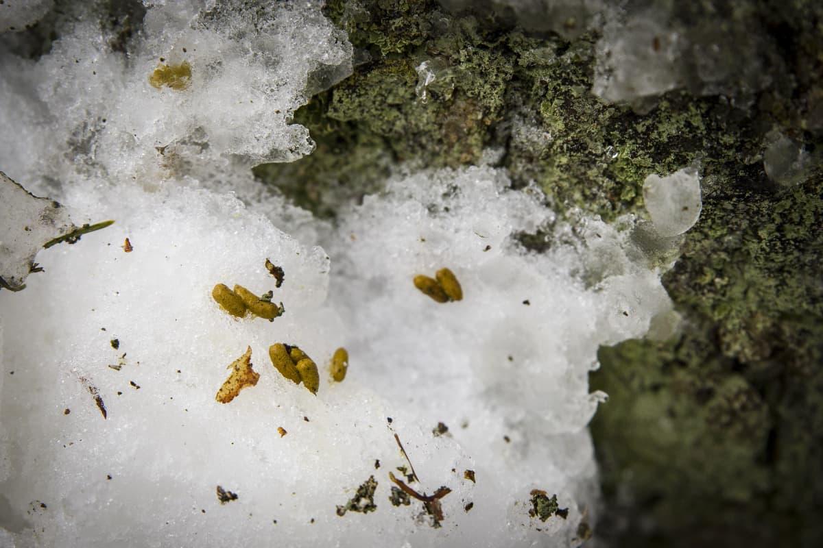 Liito-oravan jätöksiä lumella.