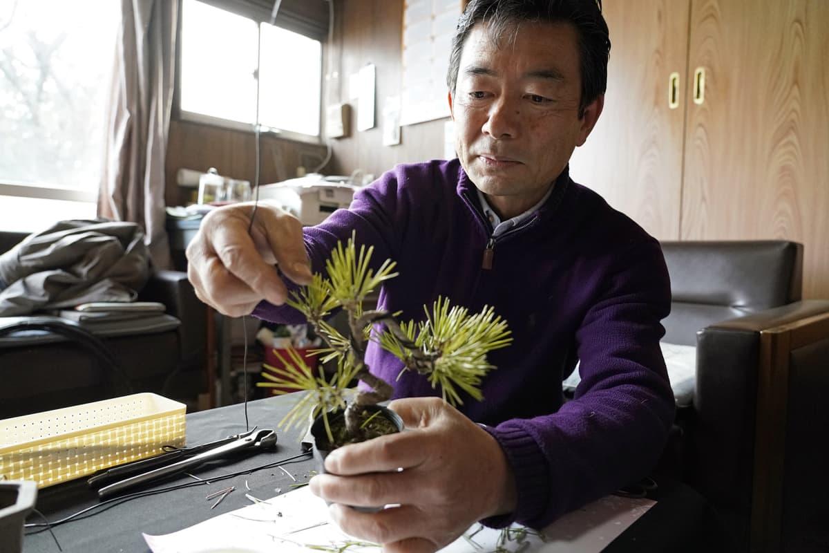 Mies hoitaa bonsai-puuta