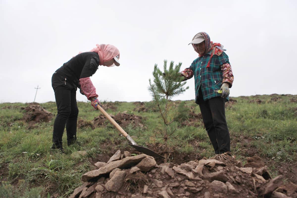 Mongolian männyn taimia istutetaan.