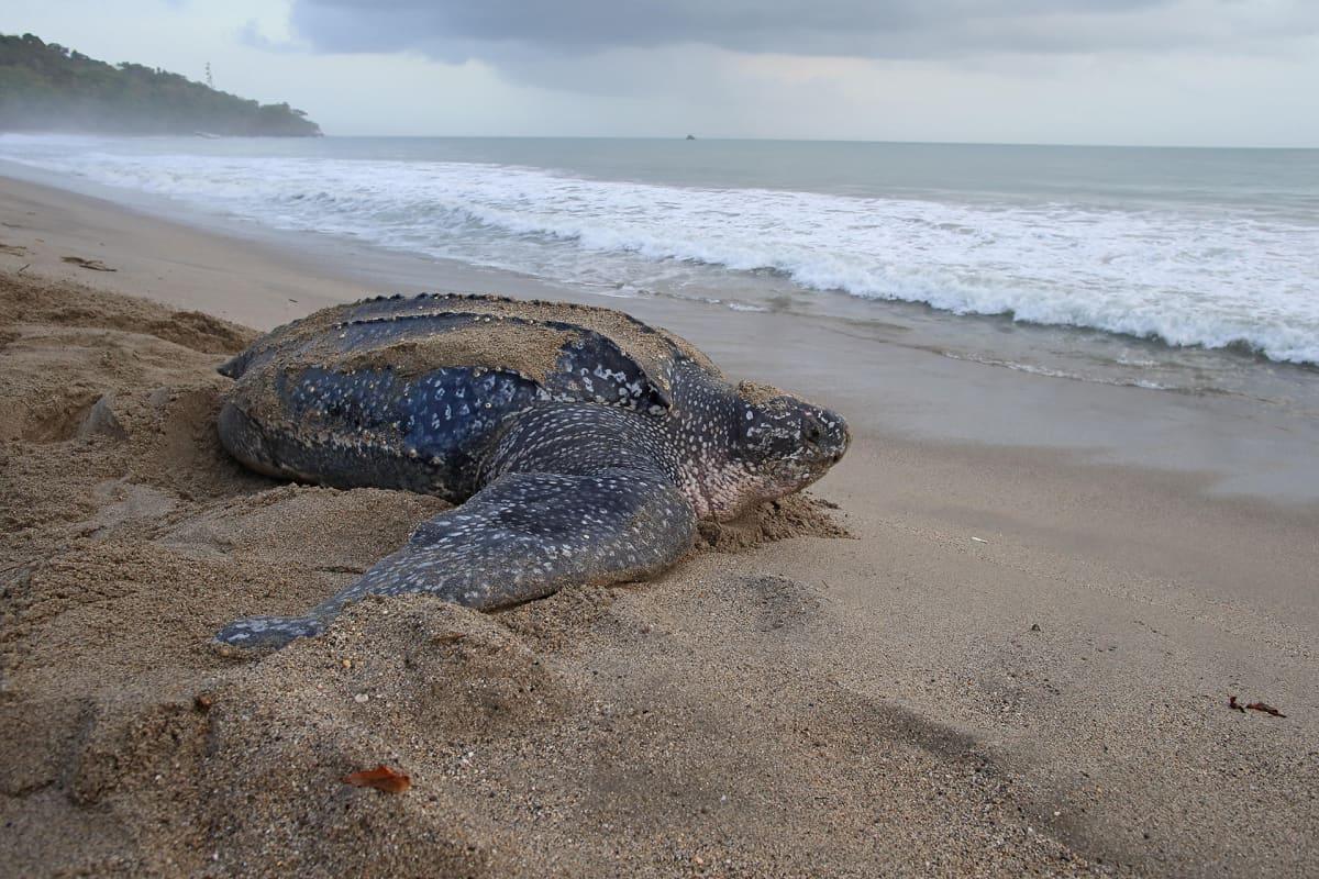Merikilpikonna meren rannalla.
