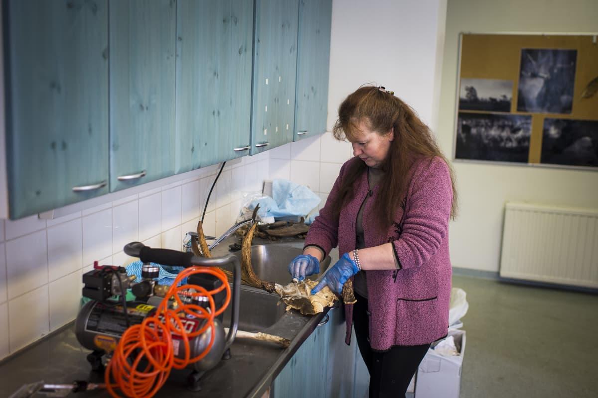 Nainen puhdistaa eläimen pääkalloa.