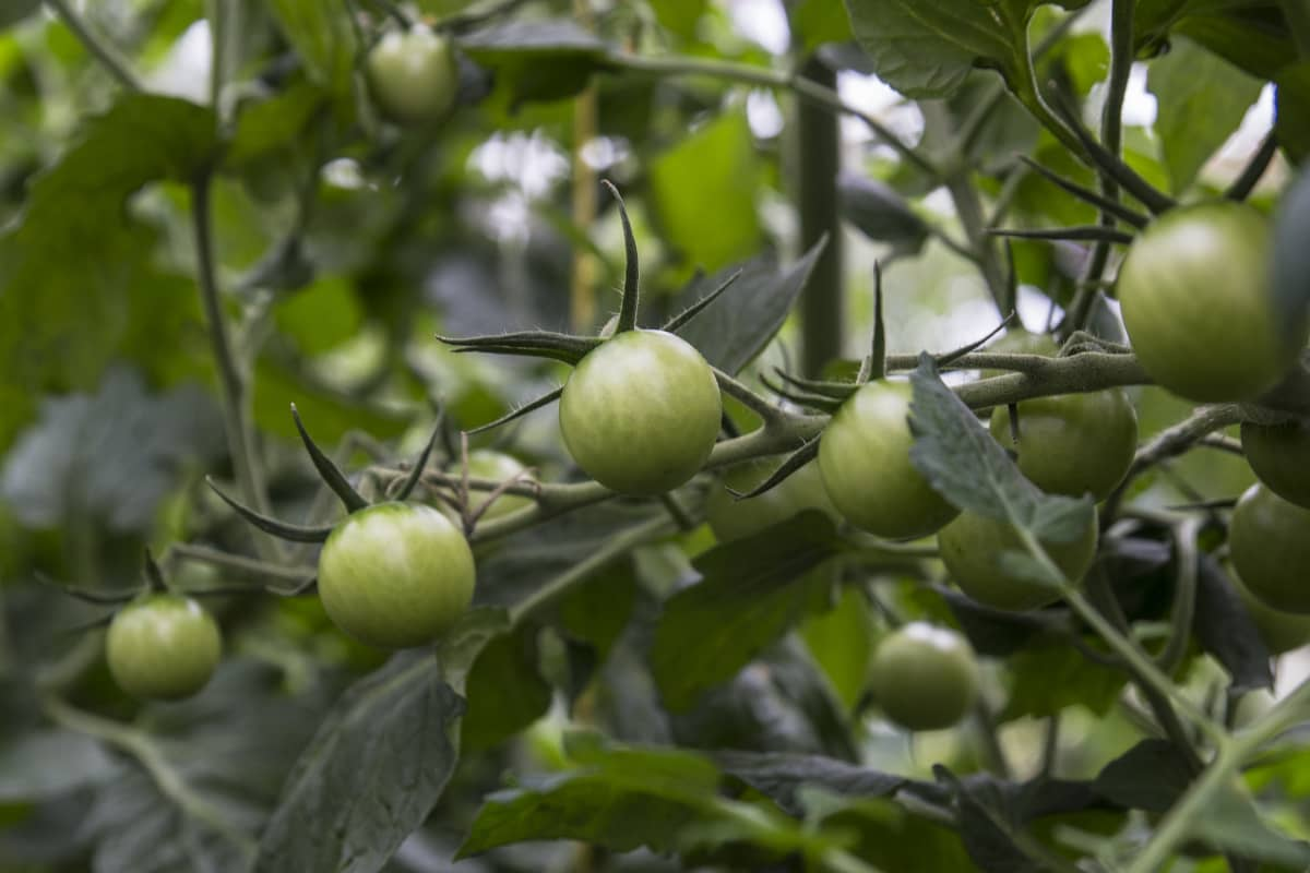 Kasvihuonetomaatteja kasvamassa Lassilan luomutilalta Tuusulasta. Tomaatit ovat vielä vihreitä.