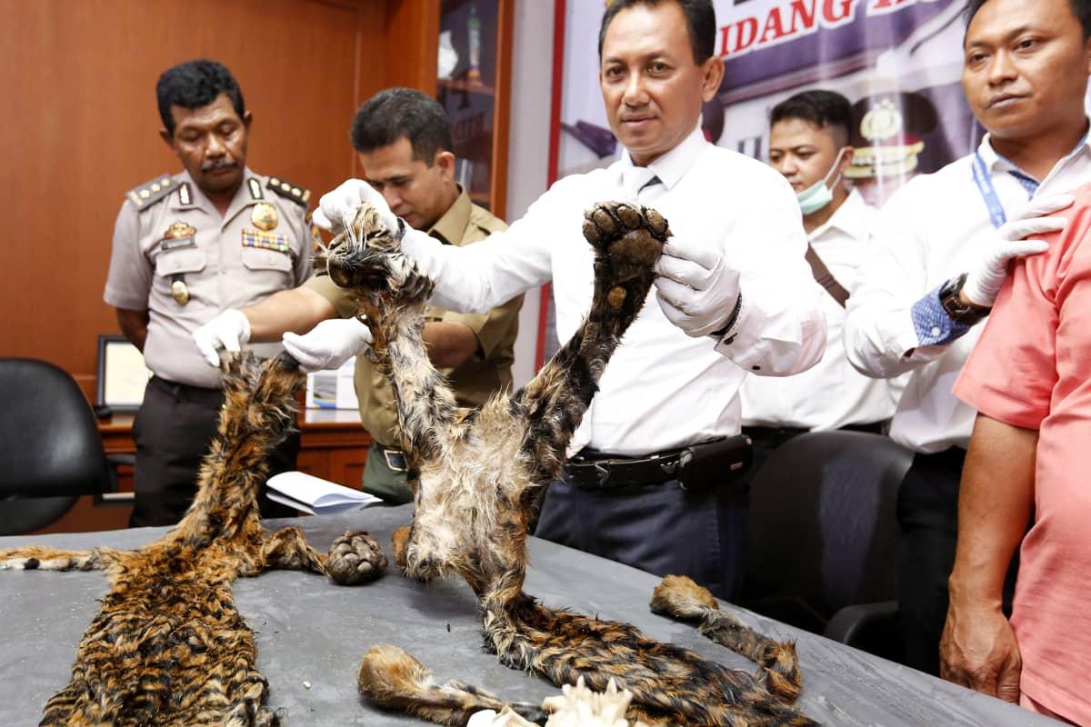 Poliisi näyttää kuolleen tiikerin turkkia.