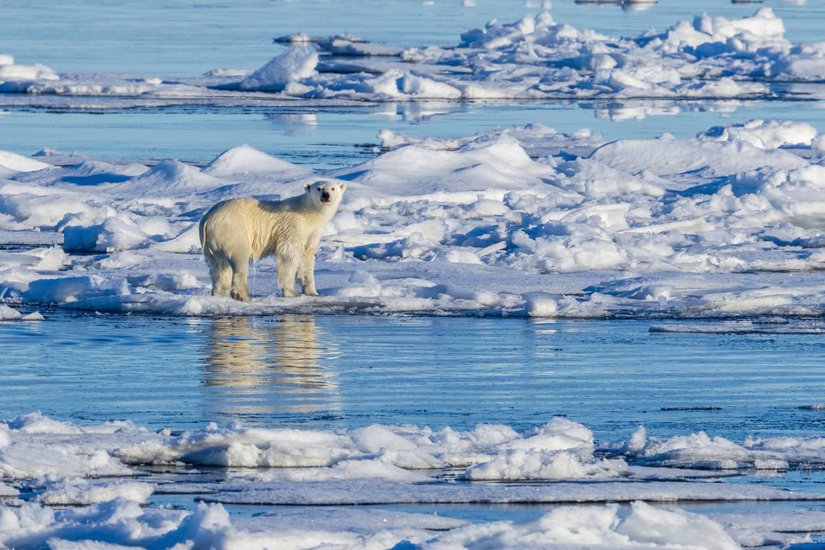 Jääkarhu ajojäällä Grönlannissa.