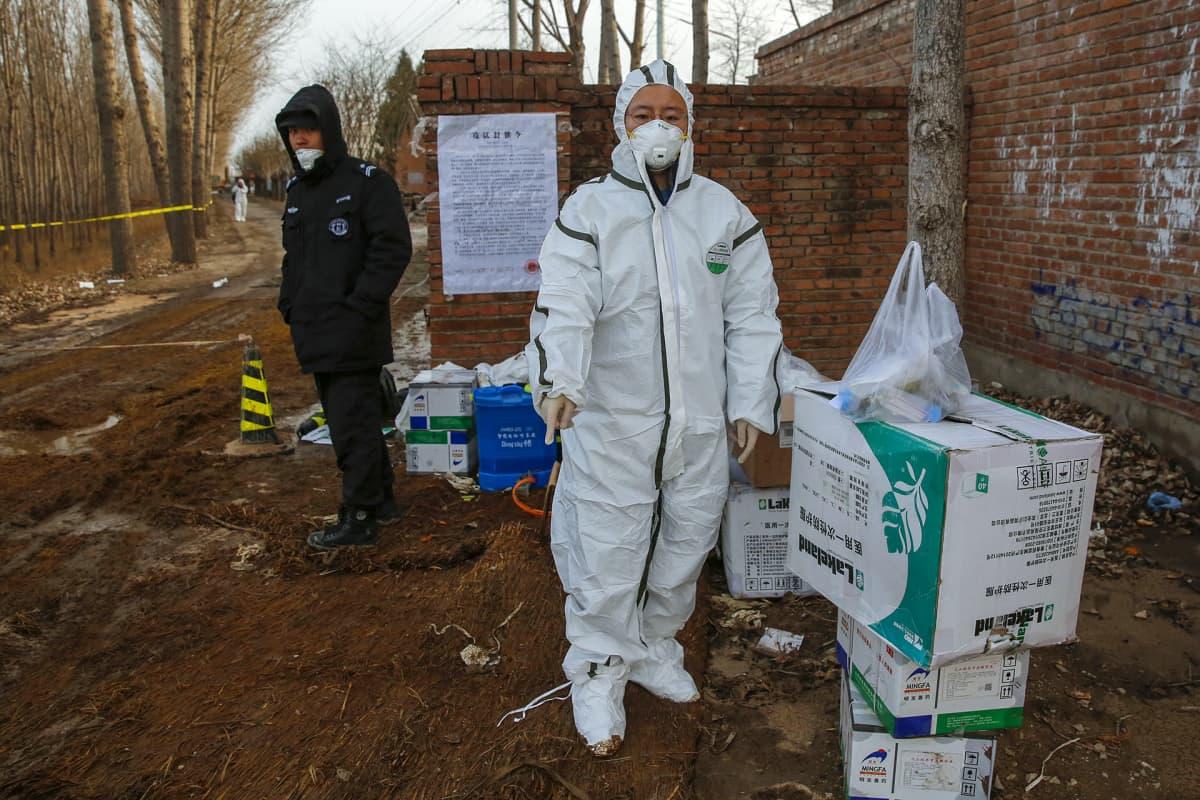 Viranomaiset selvittävät ja ehkäisevät afrikkalaisen sikaruton vaikutuksia Pekingissä.