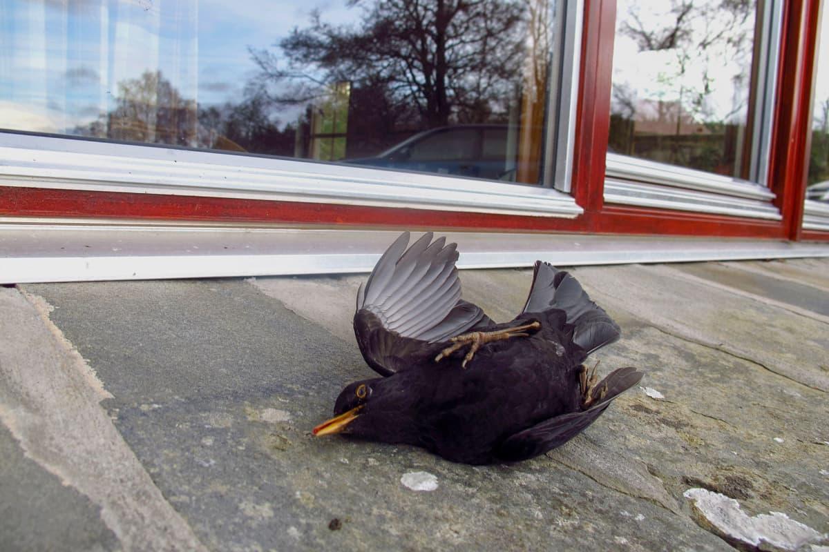 Mustarastas on lentänyt päin ikkunaa.