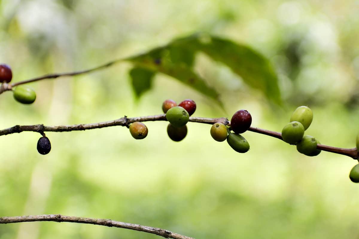 Kahvimarja on kuin kirsikka, jonka sisällä kaksi kahvipapua muodostavat siemenen.
