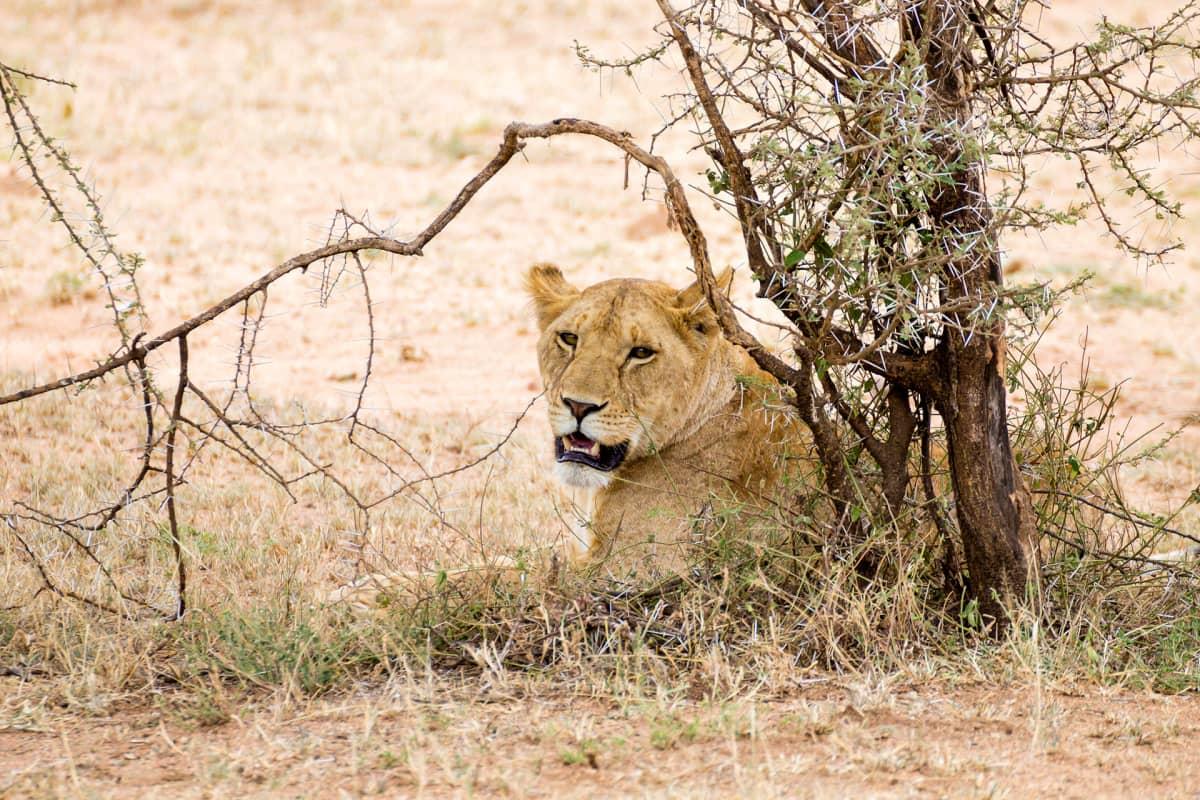 Leijona Serengetin kansallispuistossa.