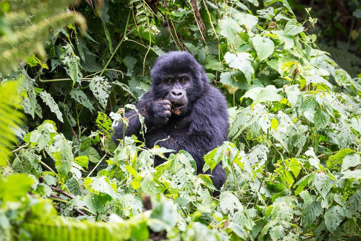 Vuorigorilla kuvattuna kansallispuistossa Ugandassa.
