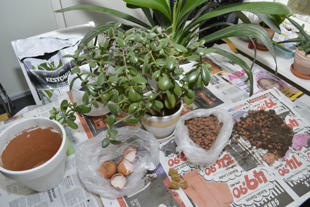 Rahapuu, multapussi, uusi ruukku ja munankuoria kasvin mullanvaihtoon