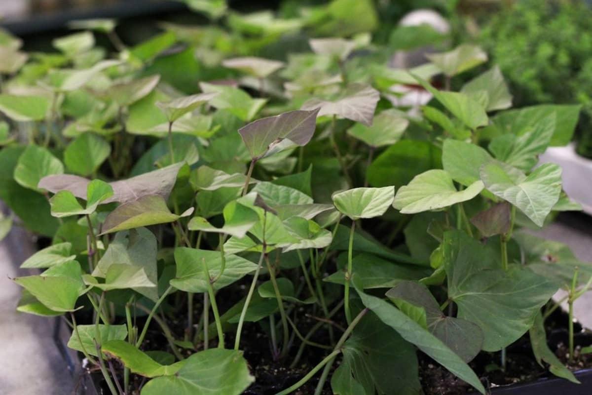 Kotimaisen bataatin taimia
