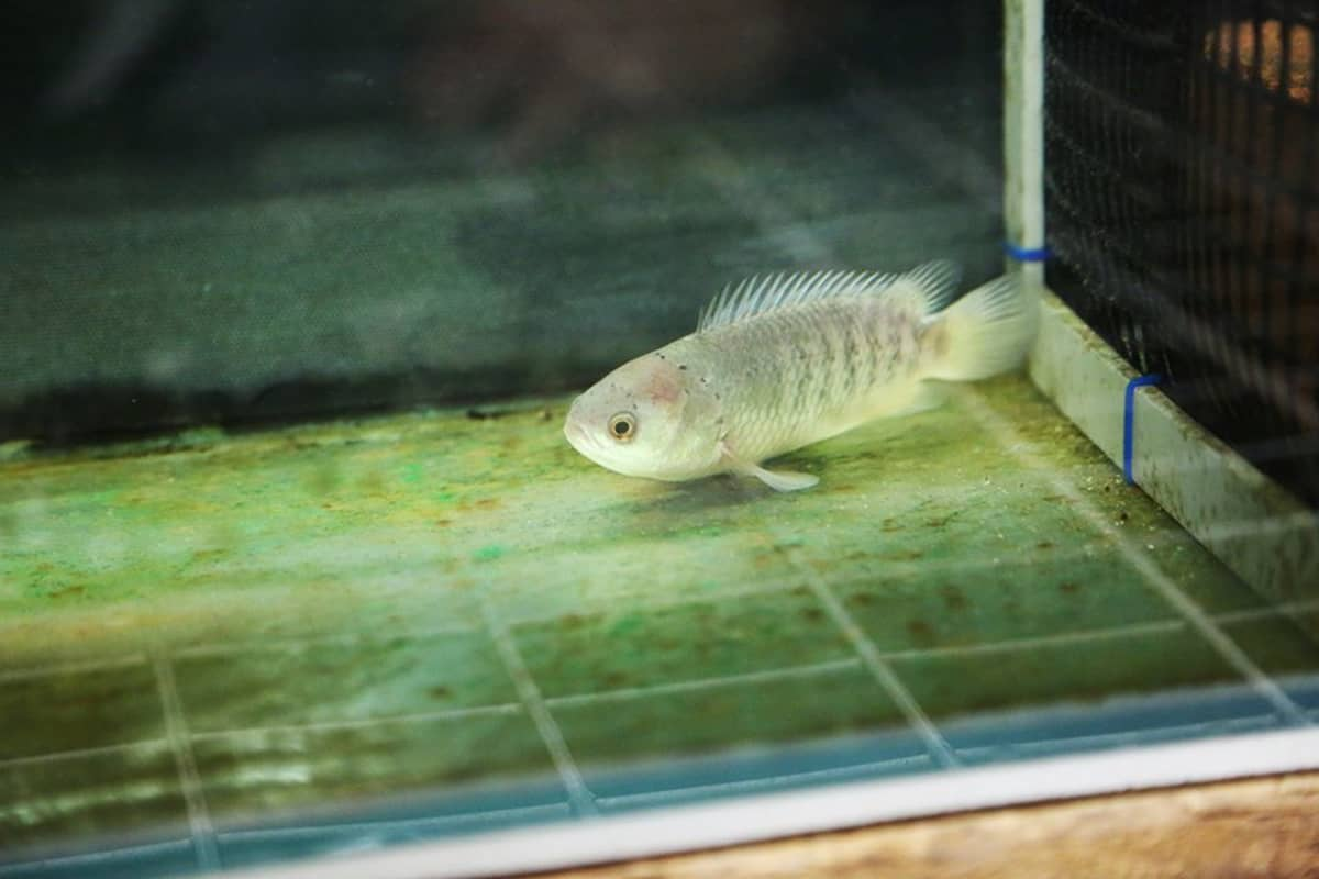 Maalla toimeentuleva kala