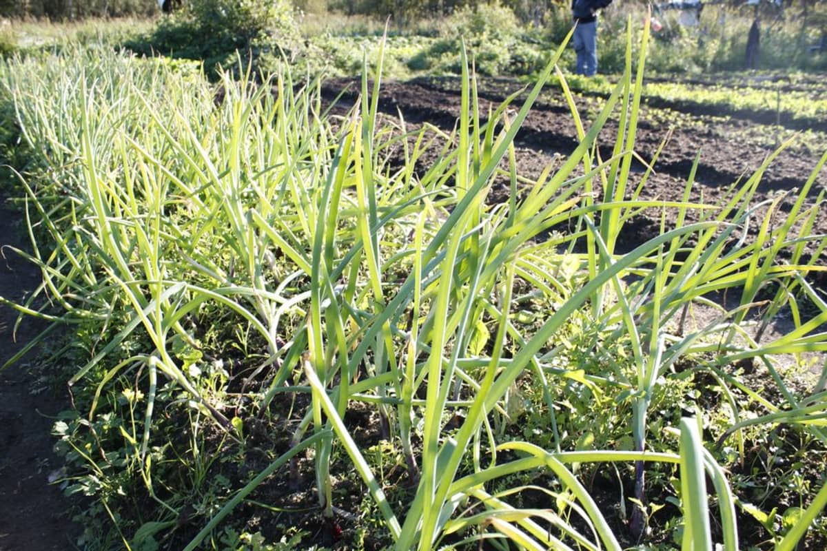 Ruohosipulin varsia kasvaa viljelyspalstan penkistä.