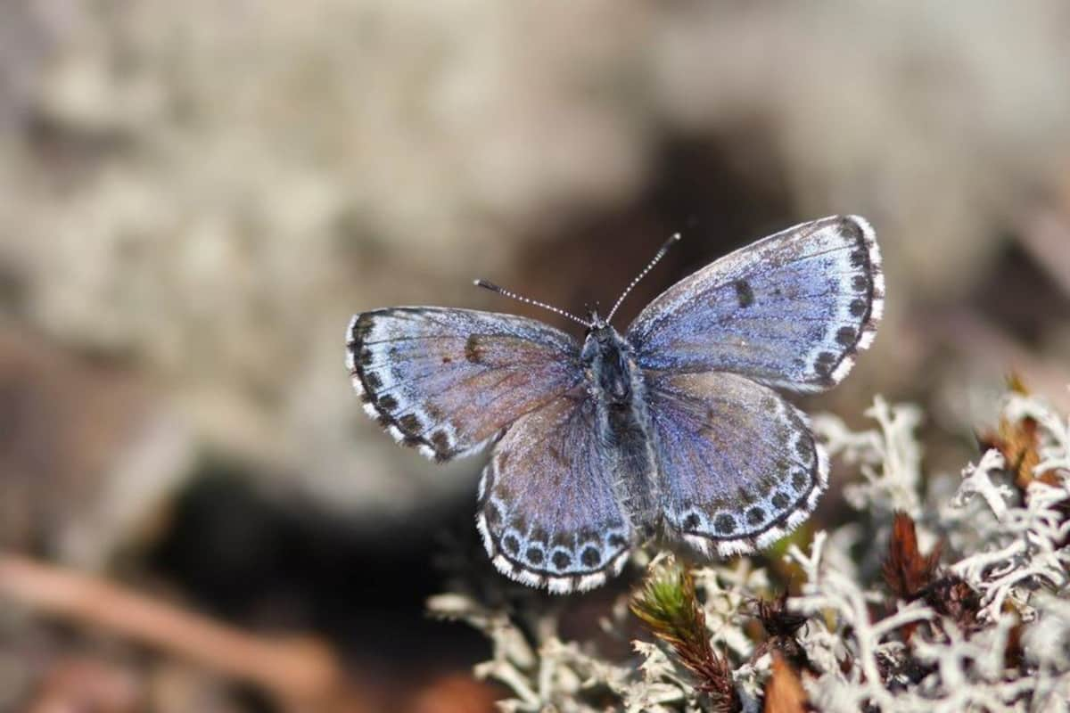 Kuvassa on sinisiipinen päiväperhonen, jonka siipien kärkiä ympäröivät mustavalkeat täplät. Perhonen nousee lentoon poronjäkälän päältä.
