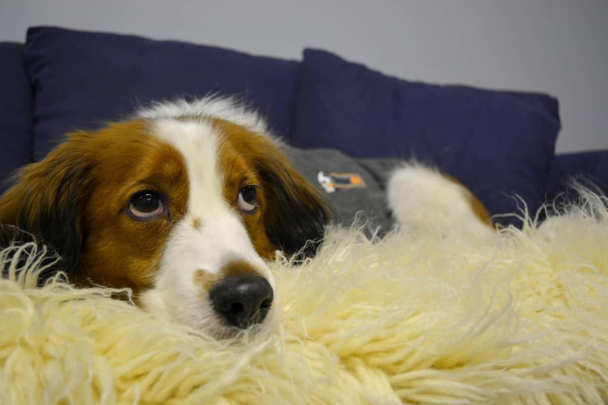 Koira Capo lepäilee sohvalla. Kooikerhondje rotu.