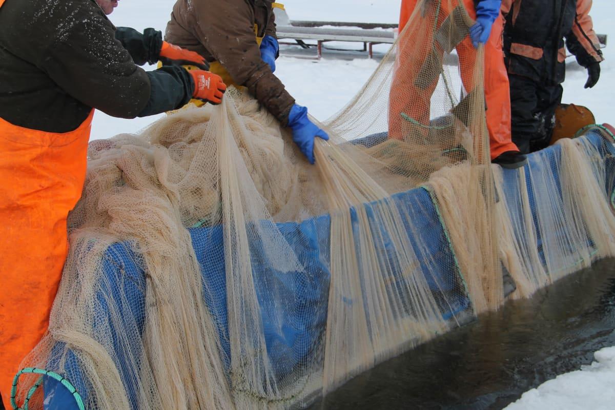 Neljä kalastajaa vetää nuottaa avannosta