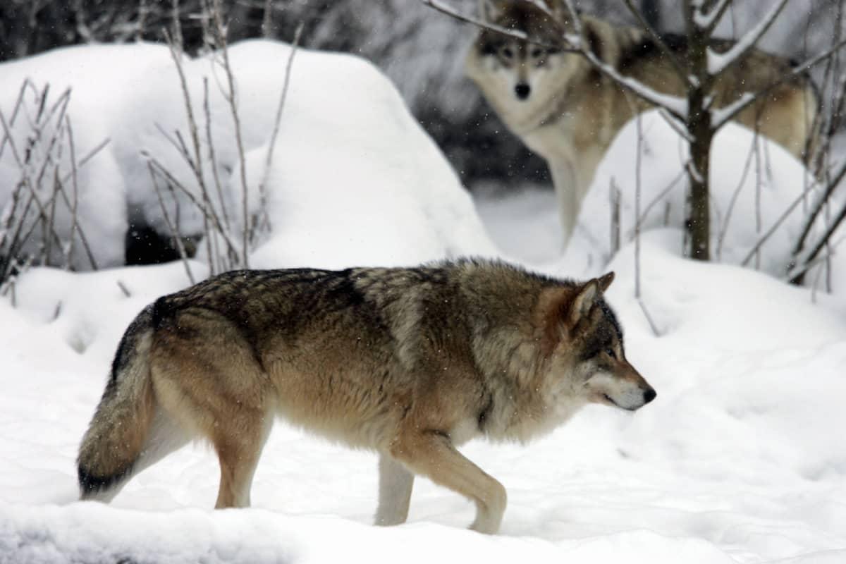 Susi talvisessa maisemassa Ähtärin eläinpuistossa.