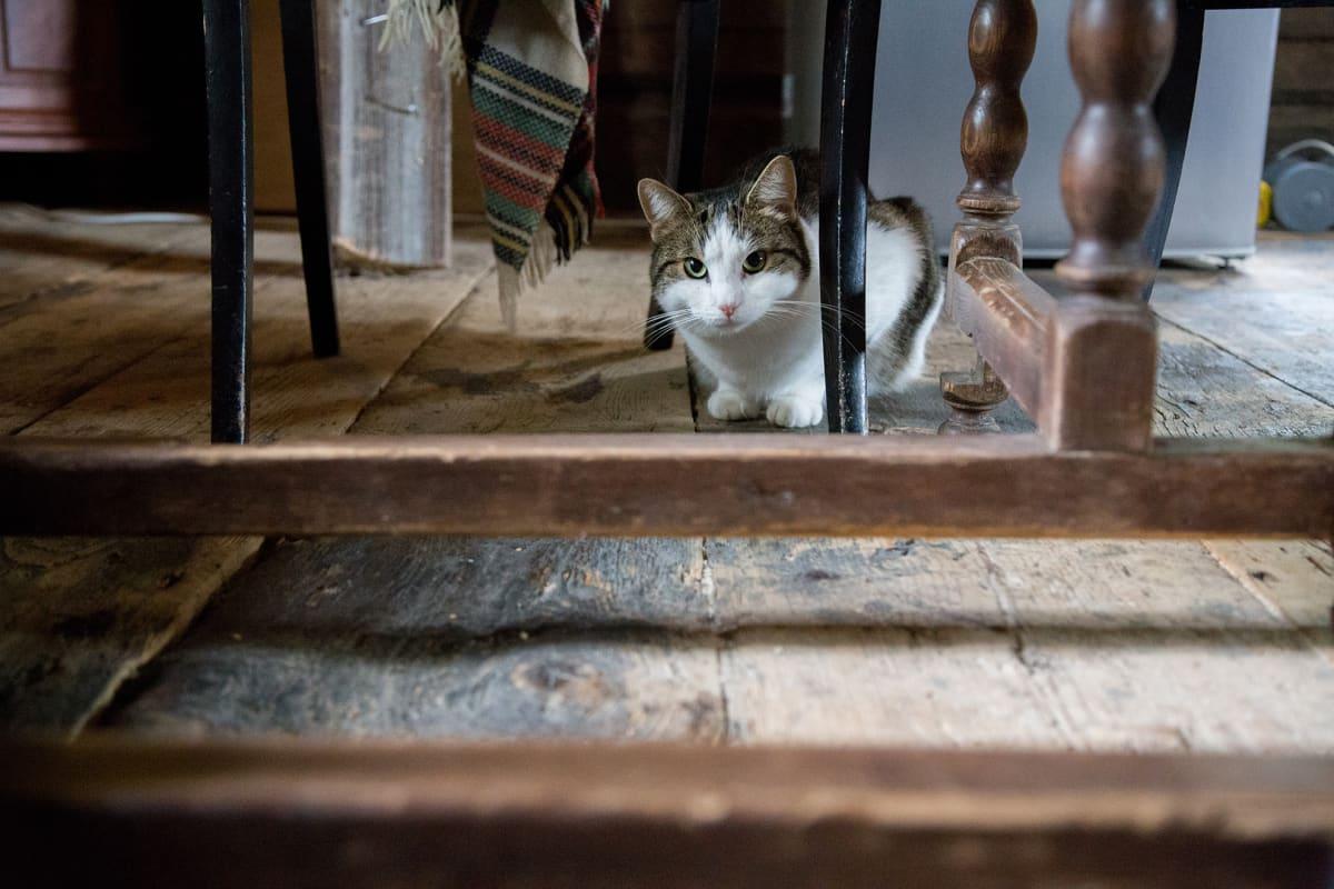 Kissa pöydän alla.