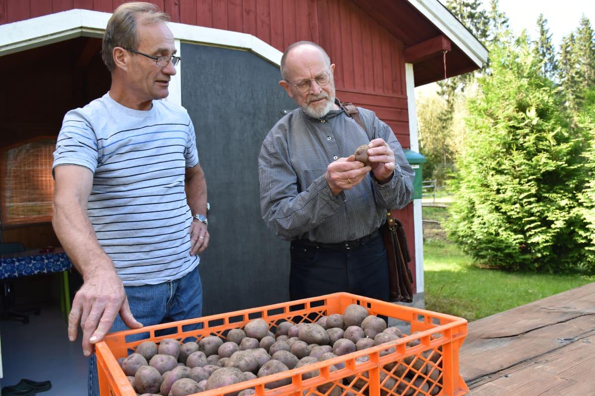 Esko Nylanderin (vas.) kasvattamat Wärtsilän mustat perunat Erkki Lintusen (oik.) ihailtavina