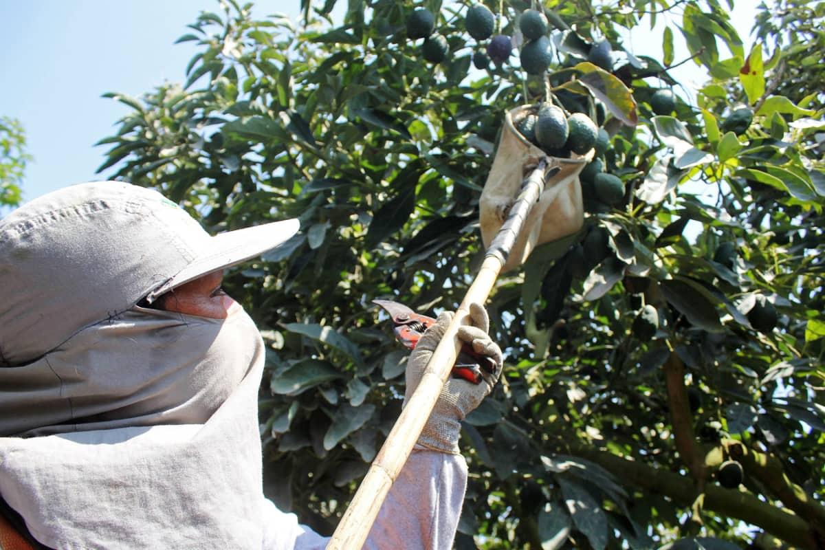 Avokadojen poimintaa Perussa syksyllä 2015.