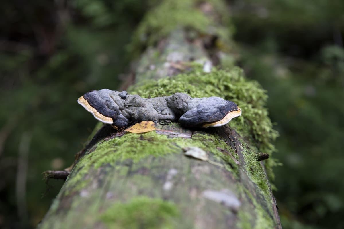 Kantokääpä on yleinen kaikissa metsäympäristöissä.