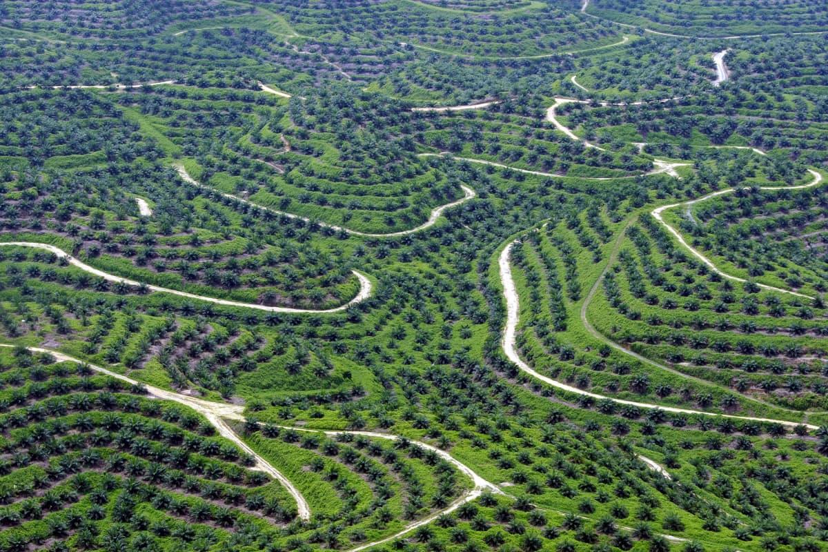 Palmuöljyn tuottamista varten kasvatettua palmumetsää Indonesiassa. Kuva on otettu vuonna 2013.