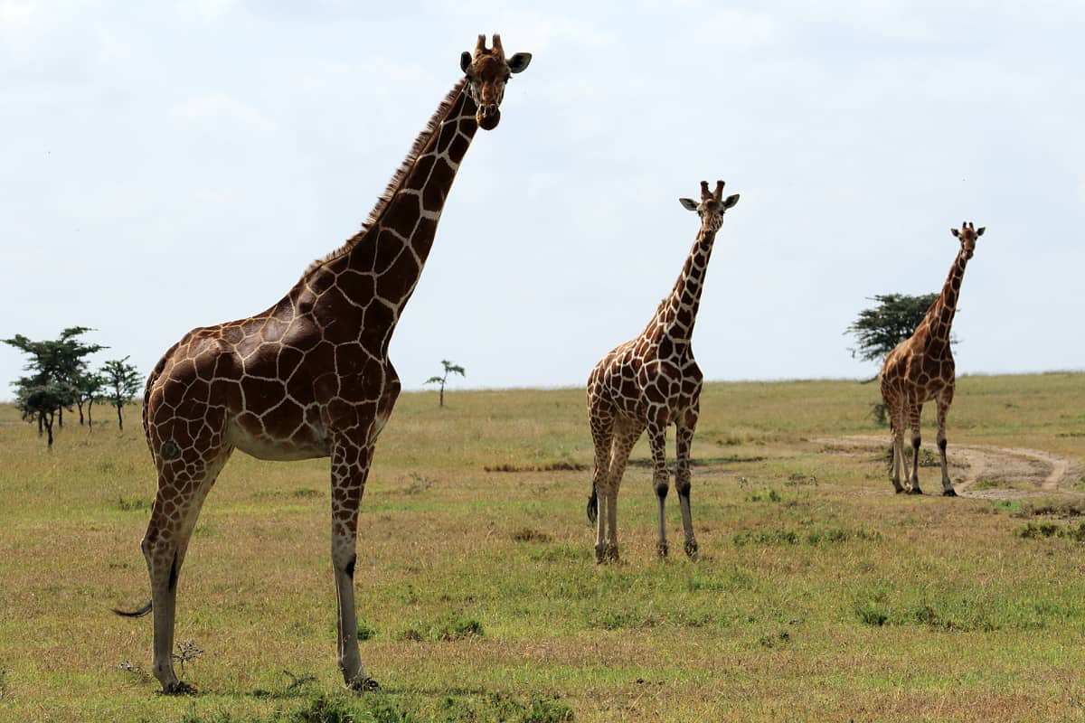 Ol Pejeta Conservancy, Kenia.