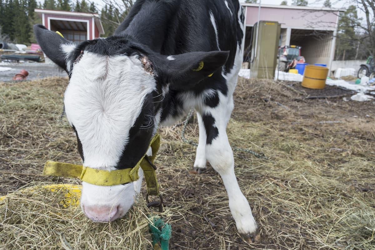 Vasikka syö heinää Iivonlahden maitotilalla