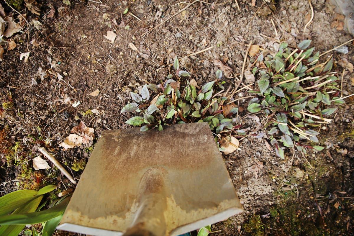 Lapiolla kaivetaan taimea maasta.