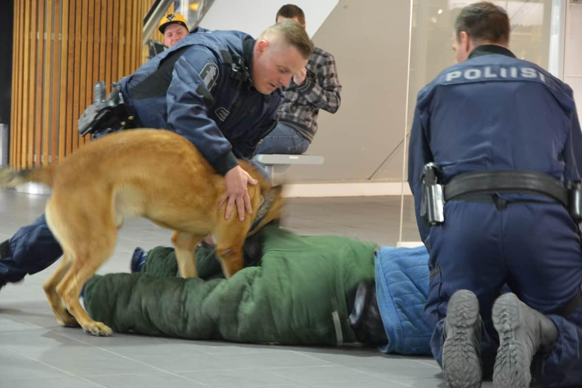 Ohjaajan käskystä poliisikoira irrottaa hampaansa kiinniotettavasti. Sitä ennen purukalusto on tiukasti kiinni rosvossa.