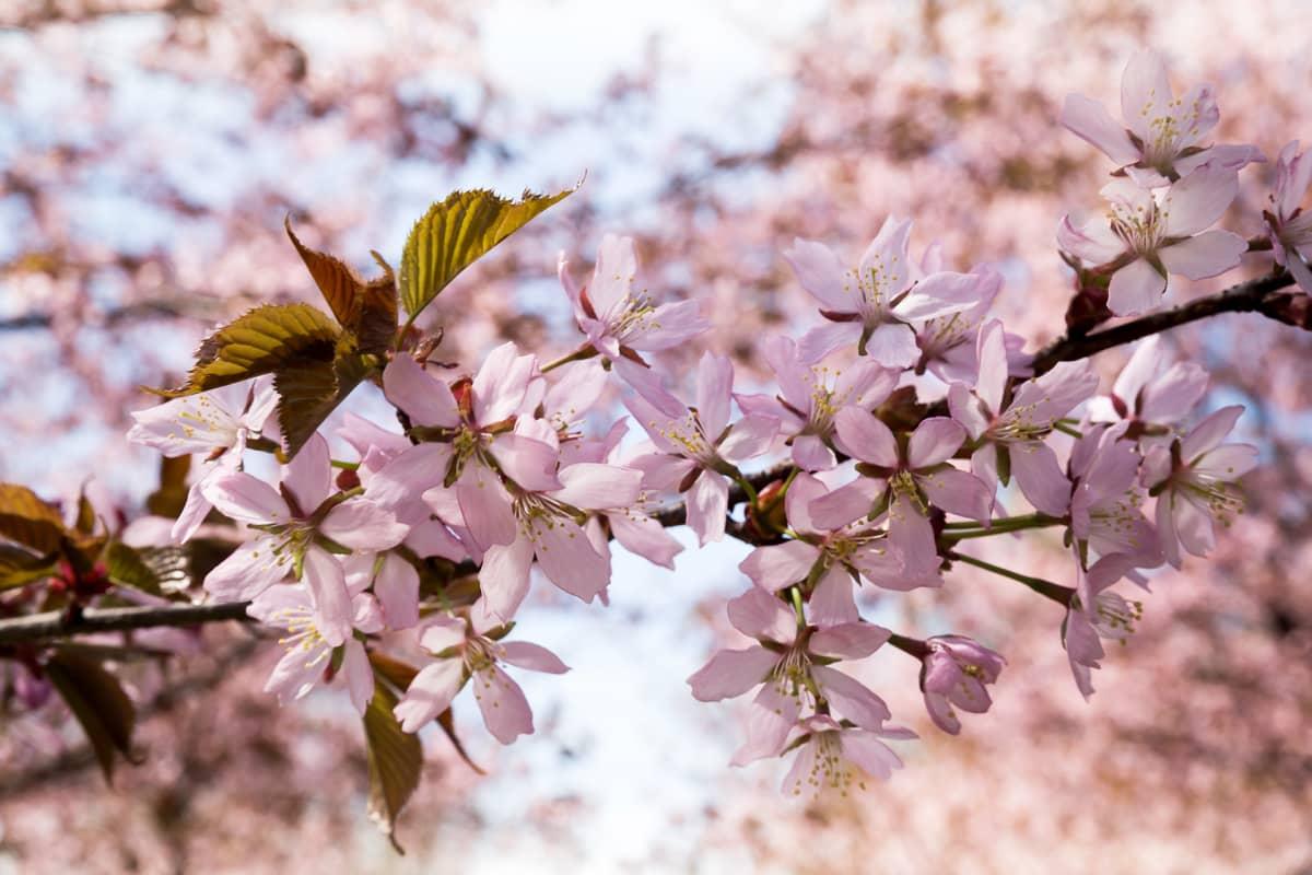 Kirsikankukkia Roihuvuoren Kirsikkapuistossa.